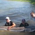 Columbia River guided oversize sturgeon fishing - Aug 2011