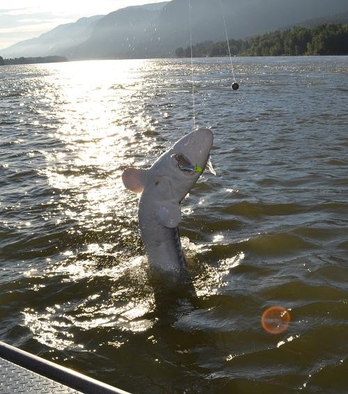 Columbia River sturgeon - June 2011