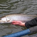 Sandy River native steelhead - Jan 2007