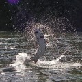 Oversize sturgeon tries to shake the hook - Oregon City, OR