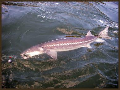 Columbia River Sturgeon